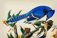 John-James-Audubon- Blue Jay