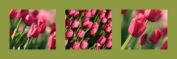 Pink Tulips in Green Triptych