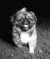 A Little Pekingese dog