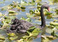 Black Swan in the Lily Pond