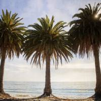 Three Palm Trees in a Row Art Prints & Posters by Lillis Werder