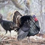 """""""Wild Turkey Strut"""" by Dawsonimages"""