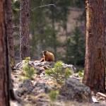 """marmot"" by erinlanzendorfer"