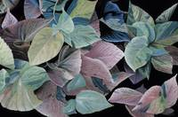 08  Coleus  Leaves