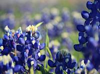 Bluebonnet Bliss