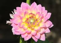 Pink Dahlia with Spider