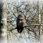 """Barred Owl"" by bettynorthcutt"