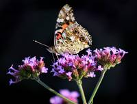 American Painted Lady Butterfly on Black