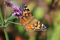 American Painted Lady Butterfly Beauty 2014