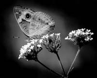 Common Buckeye Butterfly Black and White