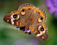Common Buckeye Butterfly Beauty 2014