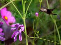 Hummingbird In Garden