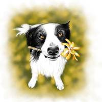 Border Collie Cutie