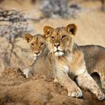 """Young Lions"" by mjphoto-graphics"