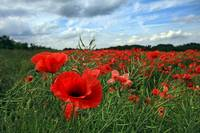 Poppy Field in Staffordshire
