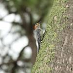 """Female Red-Bellied Woodpecker IMG_3278"" by rayjacque"