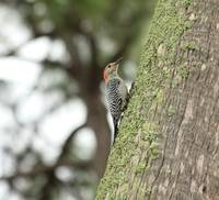 Female Red-Bellied Woodpecker IMG_3278