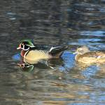 """Colorful Pair of Wood Ducks IMG_3479"" by rayjacque"