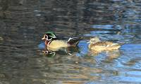 Colorful Pair of Wood Ducks IMG_3479