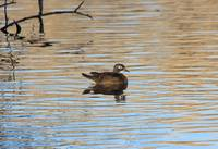 Female Wood Duck IMG_3442