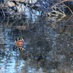 """Male Wood Duck IMG_3468"" by rayjacque"