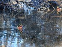 Male Wood Duck IMG_3468