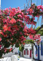 Bougainvillea In Nisyros