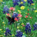 """Butterfly & Bluebonnets"" by Weingartner"