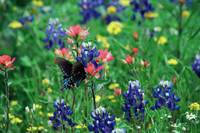 Butterfly & Bluebonnets