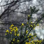 """Common Gorse in the Woodland (40093-RDA)"" by rodjohnson"