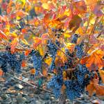 """Autumn Vineyard Sunlight"" by Groecar"