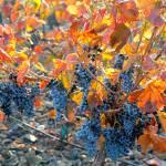 """Autumn Vineyard Sunlight"" by Groecar"