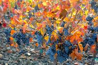 Autumn Vineyard Sunlight