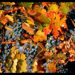"""""""Grapes in Autumn"""" by Groecar"""