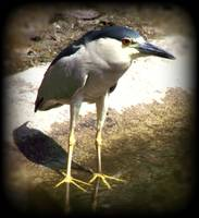 BFcrested night heron