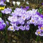 """Colors of Crocus"" by vpicks"