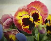 Dark pinkish-red pansy flower photography