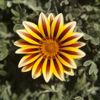 Red & yellow gazania flower photography