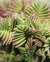 Crassula capitella botanical photography