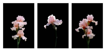Pale Pink Iris Tryptich  3 images on one sheet  48