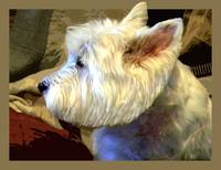 WESTIE IN PROFILE