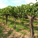 """Washington Vineyard"" by Groecar"