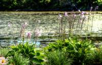 Pond Flowers II (Sidney,NS)