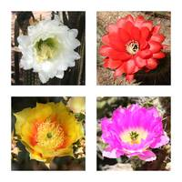 Cactus Blooms Collage