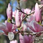 """Branches and Magnolias"" by Groecar"