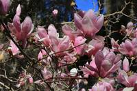 Bold and Beautiful Saucer magnolia