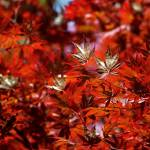 """Sunlit Japanese Maple"" by RonaBlack"