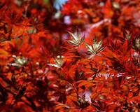 Sunlit Japanese Maple