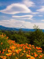 Poppies and Mt Hood, OR