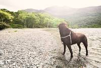 Chocolate Labrador in Lake District